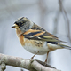 Brambling (Fringilla montifringilla) - PhotoDune Item for Sale