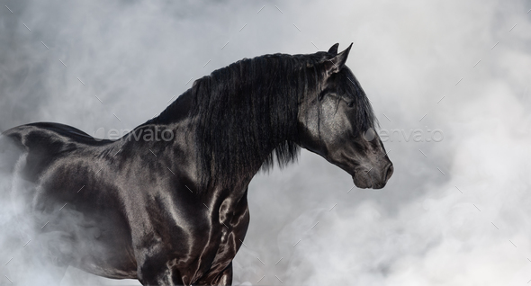 Black Pura Spanish stallion in light smoke. - Stock Photo - Images