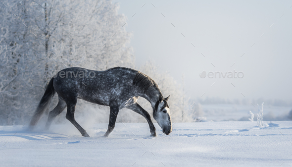 Spanish gray horse walks on freedom at winter time. - Stock Photo - Images