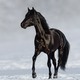 Black Andalusian horse trotting on snow meadow. - PhotoDune Item for Sale