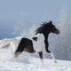 Paint horse galloping across winter snowy meadow. - PhotoDune Item for Sale