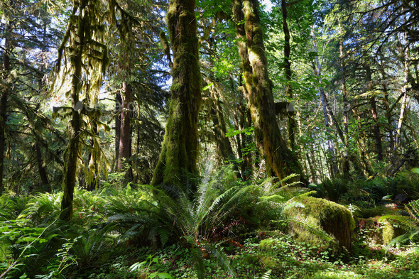 Quinault Forest - Stock Photo - Images