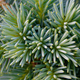 Bunch of pine tree needles - PhotoDune Item for Sale
