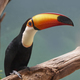 Toco Toucan (Ramphastos toco) - PhotoDune Item for Sale