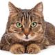 Domestic cat - PhotoDune Item for Sale