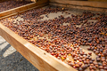Close-up of Raw Coffee Beans Drying In Wooden Crate - PhotoDune Item for Sale
