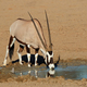 Gemsbok antelope drinking water - PhotoDune Item for Sale