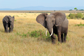 African elephants - Masai Mara - PhotoDune Item for Sale