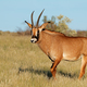 Roan antelope in natural habitat - PhotoDune Item for Sale