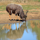 Nyala antelope drinking water - PhotoDune Item for Sale