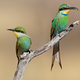 Swallow-tailed bee-eaters - PhotoDune Item for Sale