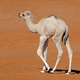 Small camel calf on a sand dune - PhotoDune Item for Sale