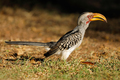 Yellow-billed hornbill - PhotoDune Item for Sale