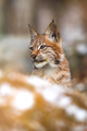 Close-up of eurasian lynx in the forest at winter looking for prey - PhotoDune Item for Sale