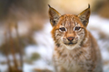 Eurasian lynx rests in the forest at early winter - PhotoDune Item for Sale