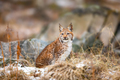 Eurasian lynx sitting in the woods at early winter - PhotoDune Item for Sale