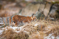 Focused eurasian lynx walking silent in the forest at early winter - PhotoDune Item for Sale