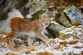 Beautiful eurasian lynx walks in the forest at early winter - PhotoDune Item for Sale