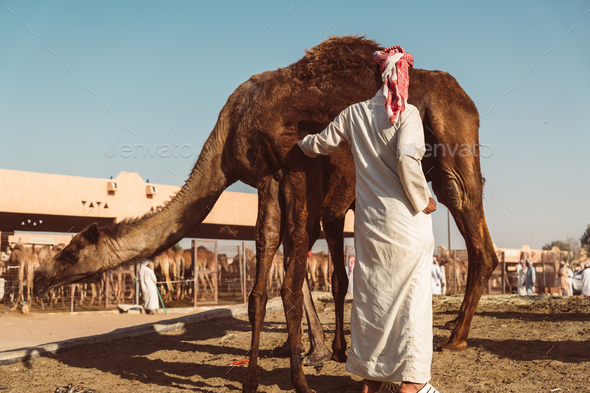 Camel market in Al Ain - Stock Photo - Images