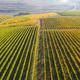 Top view of a vineyard at autumn. Aerial drone shot - PhotoDune Item for Sale