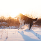 Siberian husky dog playing on winter field - PhotoDune Item for Sale
