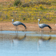 Two blue cranes at Matjiesfontein near Nieuwoudtsville - PhotoDune Item for Sale