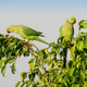 A Pair of Ringnecked Parakeets - PhotoDune Item for Sale