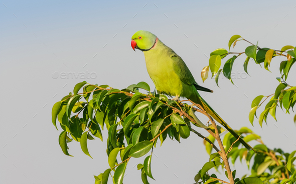 A Male Ringnecked Parakeet - Stock Photo - Images