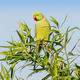 A Male Ringnecked Parakeet - PhotoDune Item for Sale
