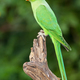 A Female Ringnecked Parakeet - PhotoDune Item for Sale