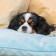 Dog under the pillows - PhotoDune Item for Sale