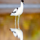 Pied Avocet, Recurvirostra avosetta - PhotoDune Item for Sale
