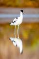 Pied Avocet, Recurvirostra avosetta - PhotoDune Item for Sale