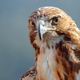 Eagle of red tail (Buteo jamaicensis) - PhotoDune Item for Sale