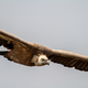 Griffon Vulture, (Gyps fulvus) - PhotoDune Item for Sale