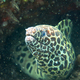 Giant spotted moray hiding  amongst coral reef on the ocean flo - PhotoDune Item for Sale