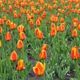 Beautiful red tulips field in spring time - PhotoDune Item for Sale