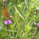 Monarch butterfly on pink flower on green leaf - PhotoDune Item for Sale