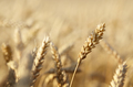 Wheat field closeup photo. Space for text - PhotoDune Item for Sale