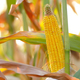 Backlit Ripe Corn of Maize on stalks at the field ready for harv - PhotoDune Item for Sale
