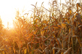Backlit Maize field at evening sunset time - PhotoDune Item for Sale