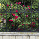 Blooming rose bush. - PhotoDune Item for Sale