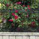 Blooming rose bush. - PhotoDune Item for Sale