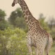 Giraffe standing in soft sunset light - PhotoDune Item for Sale