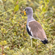 White headed lapwing - PhotoDune Item for Sale