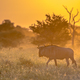 Savanna Orange morning light with wildebeest on S100 Kruger - PhotoDune Item for Sale