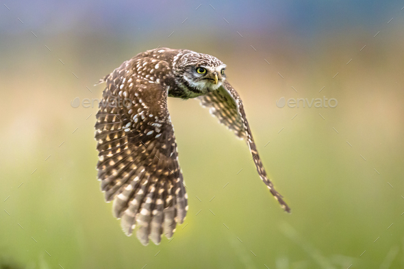 Little Owl flying on blurred background - Stock Photo - Images