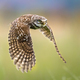 Little Owl flying on blurred background