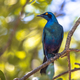 Greater blue eared Starling - PhotoDune Item for Sale