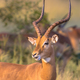 Impala male with antlers - PhotoDune Item for Sale
